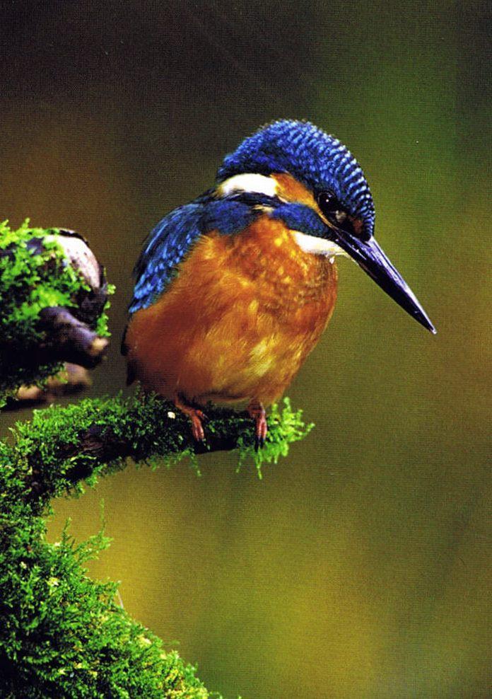 Fotokarte Eisvogel